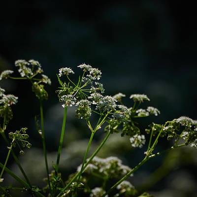 Keck Photograph - Queen Annes Lace by Jouko Lehto