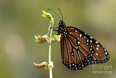 Art Print featuring the photograph Queen Butterfly by Meg Rousher