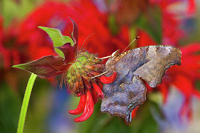Bee Balm Photograph - Question Mark Butterfly, Polygonia by Darrell Gulin