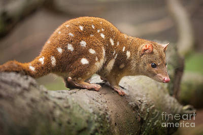 Photograph - Quoll by Craig Dingle