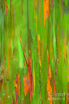Photograph - Rainbow Eucalyptus Tree Maui Hawaii Usa by Don Landwehrle