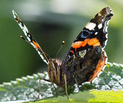 Photograph - Red Admiral by Steven Poulton