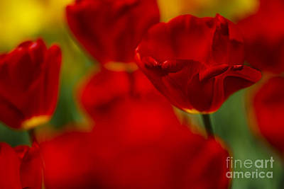 Gardening Photograph - Red And Yellow Tulips by Nailia Schwarz
