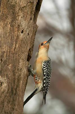 Photograph - Red-bellied Woodpecker by Byron Jorjorian