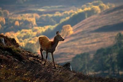 Photograph - Red Deer Calf by Gavin Macrae