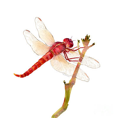 Animals Paintings - Red Dragonfly by Amy Kirkpatrick