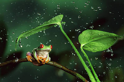 Frogs Photograph - Red-eyed Tree Frog In The Rain by Michael Durham