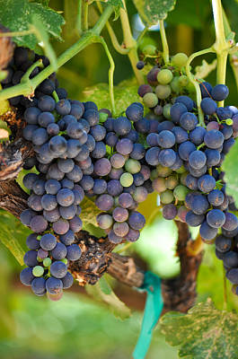 Vineyard Photograph - Red Grapes On The Vine by Brandon Bourdages