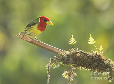 Photograph - Red-headed Barbet by Dan Suzio