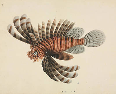 Fish Illustration Photograph - Red Lionfish by Natural History Museum, London