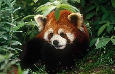 Photograph - Red Panda, China by Thomas And Pat Leeson