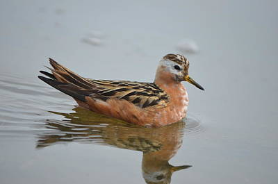 Photograph - Red Phalarope by James Petersen