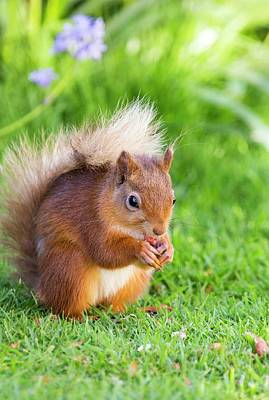 Red Squirrel Photograph - Red Squirrel At Haweswater by Ashley Cooper