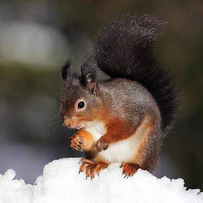 Thomas Kinkade Royalty Free Images - Red Squirrel Royalty-Free Image by Grant Glendinning