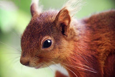 Red Squirrel Wall Art - Photograph - Red Squirrel by Simon Fraser/science Photo Library