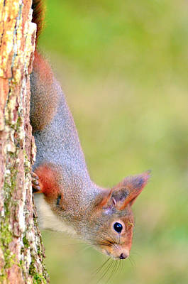 Red-tailed Squirrel Photograph - Red Squirrel  by Tommytechno Sweden