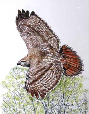 Red Tail Hawks Drawing - Red-tailed Hawk by Carol Veiga