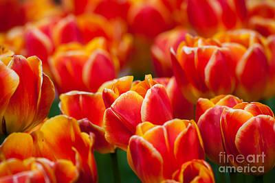 Photograph - Red Tulips by Katka Pruskova