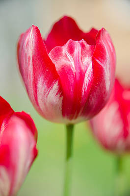 Photograph - Red Tulips On The Green Background by Michael Goyberg