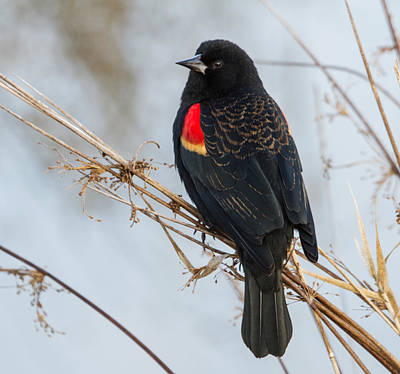 Red-winged Blackbird Print by Angie Vogel