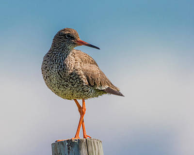 Migratory Photograph - Redshank Tringa Totanus, Flatey Island by Panoramic Images