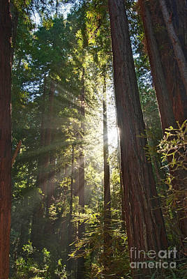 Photograph - Redwood Forest Of Muir Woods National Monument In San Francisco. by Jamie Pham