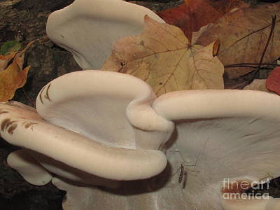 Photograph - Resinous Polypore by Timothy Myles