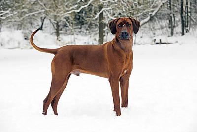 Dog In Snow Photograph - Rhodesian Ridgeback by John Daniels