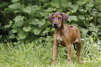 Photograph - Rhodesian Ridgeback Puppy by Jean-Michel Labat