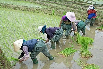 Rice Cultivation In Yunnan Province Print by Tony Camacho