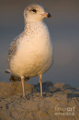 Larus Delawarensis Photograph - Ring-billed Gull by John Shaw