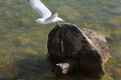 Photograph - Ring Billed Gull by Scott Hovind