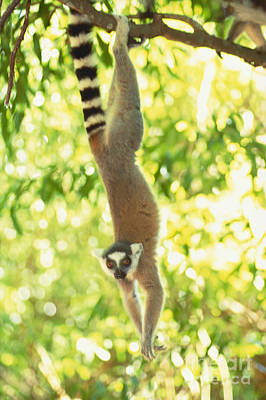 Hangs Upside Down Photograph - Ring-tailed Lemur by Art Wolfe