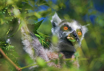 Lemur Catta Photograph - Ring Tailed Lemur (lemur Catta by Keren Su