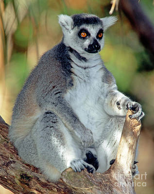 Lemur Catta Photograph - Ring-tailed Lemur Lemur Catta by Millard H. Sharp