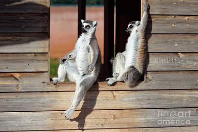Ape Photograph - Ring Tailed Lemurs by George Atsametakis
