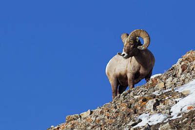 Bighorn Sheep Photograph - Rocky Mountain Bighorn Sheep by Ken Archer