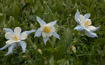 Photograph - Rocky Mountain Columbines by Susan Rovira