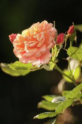 Aloha Photograph - Rosa 'aloha Hawaii' Flower by Maria Mosolova