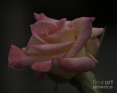 Photograph - Rose by Ronald Grogan
