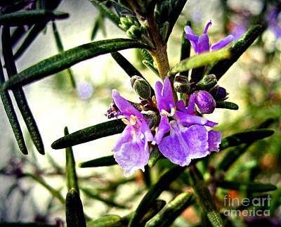 Photograph - Rosemary Bloom by Nina Ficur Feenan