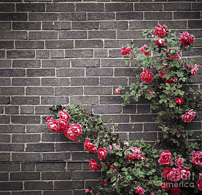 Roses Royalty-Free and Rights-Managed Images - Roses on brick wall by Elena Elisseeva