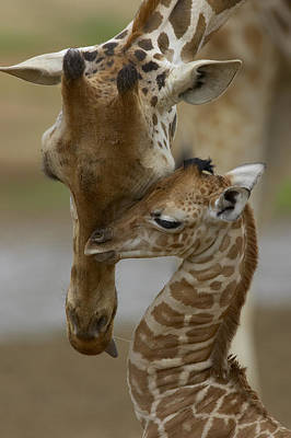 Captive Animal Photograph - Rothschild Giraffe And Calf by San Diego Zoo