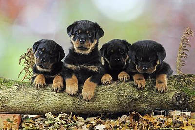 Rottweiler Wall Art - Photograph - Rottweiler Puppy Dogs by John Daniels