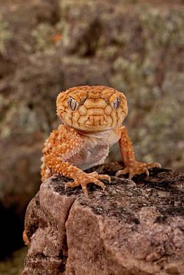 Rough Knob-tail Gecko, Nephrurus Amyae Art Print by David Northcott