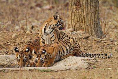 Royal Bengal Tiger Cubs Art Print