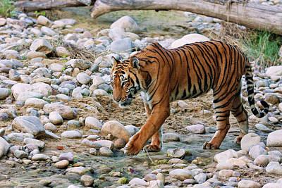 Royal Bengal Tiger (male Art Print by Jagdeep Rajput