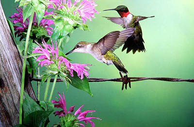 Bee Balm Photograph - Ruby-throated Hummingbird (archilochus by Richard and Susan Day