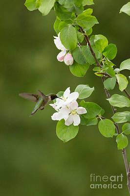 Nectaring Bird Photograph - Ruby-throated Hummingbird by Linda Freshwaters Arndt