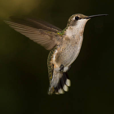 Photograph - Ruby Throated Hummingbird by Robert L Jackson